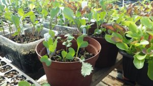 Seedling Sale - Good Friday 19th April @ Jubilee allotments,