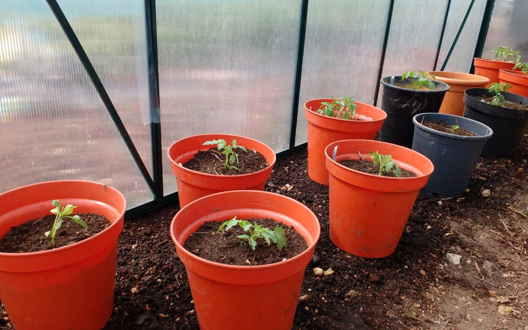 Greenhouse Tomatoes and Water Conservation